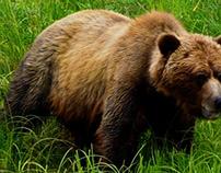 Khutzeymateen Bears (2)