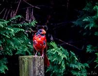 Prehistoric Cardinal