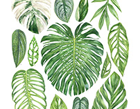 Monstera Species Poster
