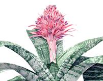 Aechmea fasciata - Primera — Bromeliad