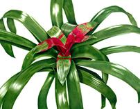 Neoregelia compacta - Bromeliad
