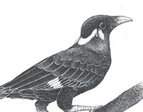 Beo Nias Illustration