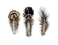 Feather Illustrations (Part three)