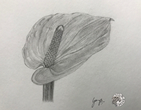 Anthurium - pencil sketch
