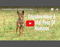 Coexisting With Urban Coyotes