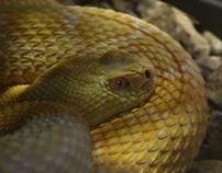 Cobra Amarilla