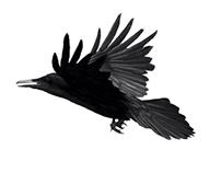 Raven | http://lauraplaza.es/