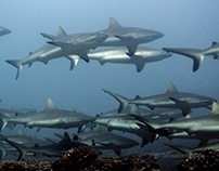 Shark diving in the Tuamotu's