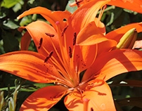 Fleurs de Lys
