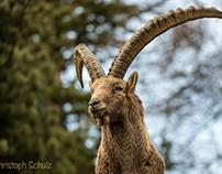 Portrait vom Steinbock / Portrait of an ibex