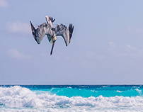 Cancun Pelicanos Fishing Off the Coast of Mexico 2017