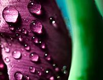 Spring Tulip Water Drops