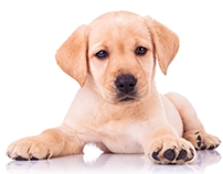 Food for labs, adhere to the tips of feeding your pooch