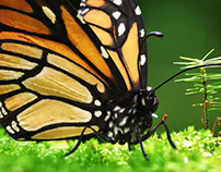 Monarch Butterfly Close