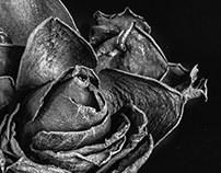 Roses in decay