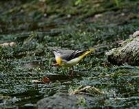 Birds in Kase river