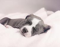 Pitbull Puppy B&W