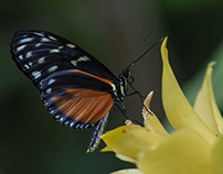 Tiger Longwing Butterfly