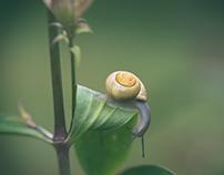 The golden snail