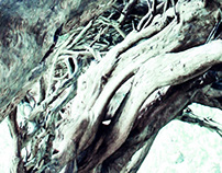 The Yews of Aberglasney
