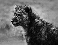 Lion-Photography