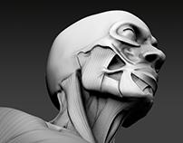 Torso Study / ZBrush / 3D Sculpt