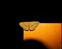 Yellow Moth : Photo of the day