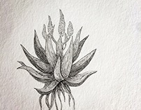 Aloe illustration