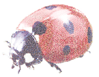 Mariquita Mariquita (Ladybug)