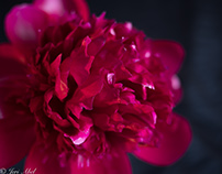 AP Peony collection