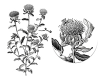 Sufflower botanical vintage illustration for research