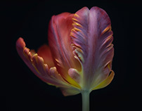 Tulips through the years