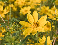 Missouri Yellow Tickseed Flower Photography 2015