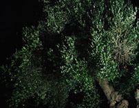 Olive trees of Apulia 2017