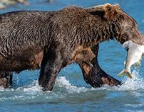 Alaska, Grizzly bears #1