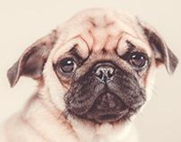 The saddest pug