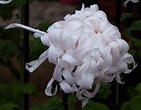 Chrysanthemum three state