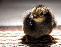 Pollitos (Chicks)