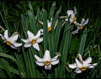 Pheasant's-eye daffodils...