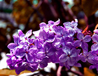 Everything Need to Know About Lilac