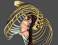 Thorax 3D Model