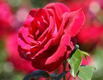 Rose Gardens, Tauranga, New Zealand