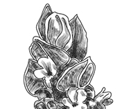 Laventer flower illustration