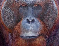 Hercules the orangutan - 2017