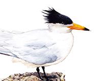 馬祖特有種:黑嘴端鳳頭燕鷗 Species in Matzu: Chinese crested tern