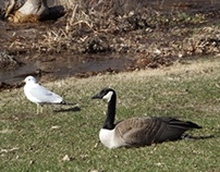 Geese 2013