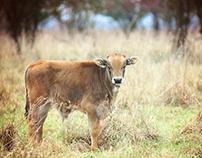 Photography aurochs& exmoor pony's in Keent (Nld)