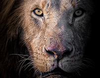 The Mara Lions