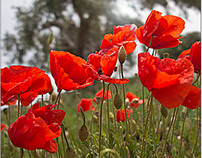 Poppies (colors of Italy)