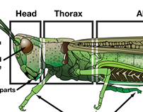 Grasshopper Illustration